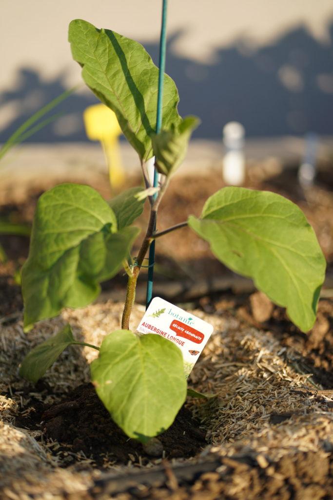 Jeune plant d'aubergine dans le soleil du potager