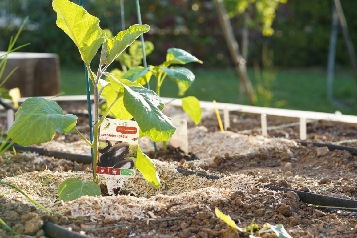 Jeune plant d'aubergine