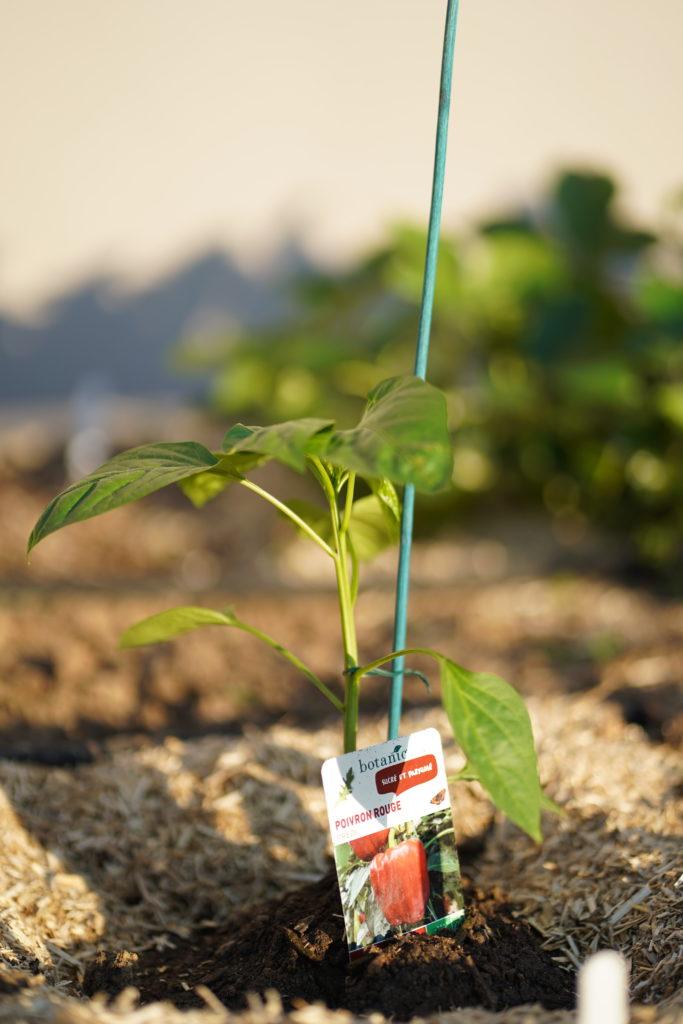 Jeune plant de poivron