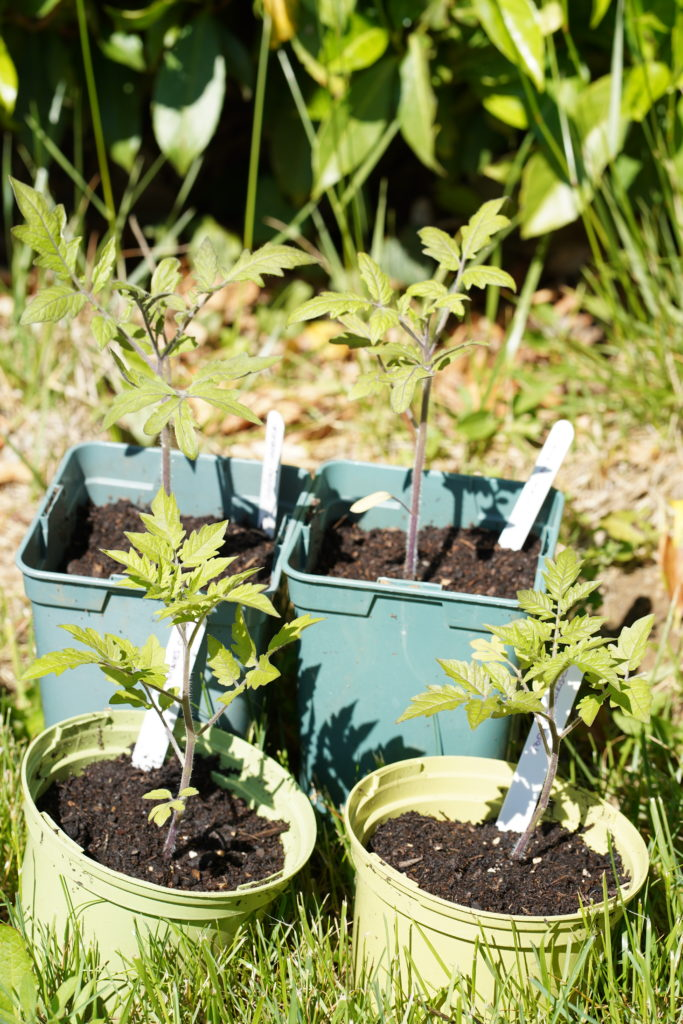 Jeunes plants de tomates en pots
