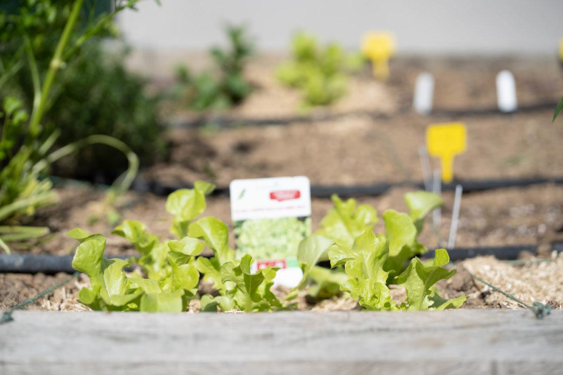 Jeunes pousses de salades