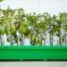 Semis de tomates prêts à repiquer en caissette
