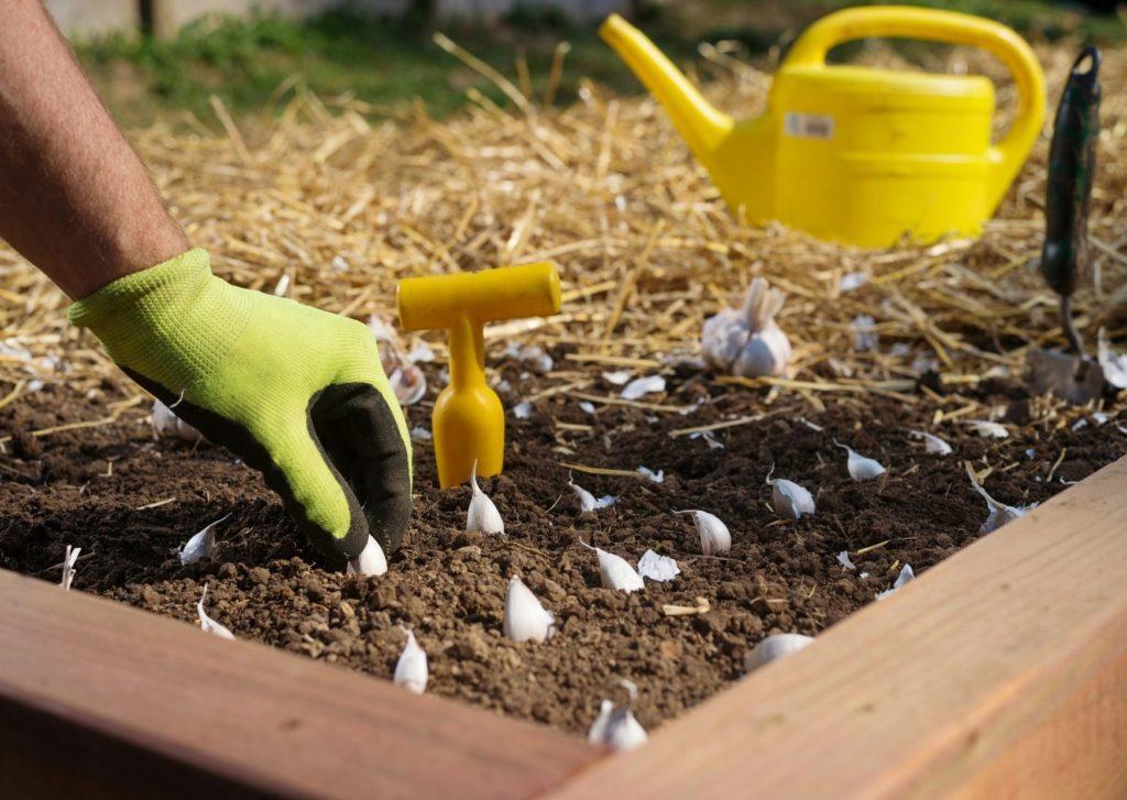 Au potager en février - plantation d'ail