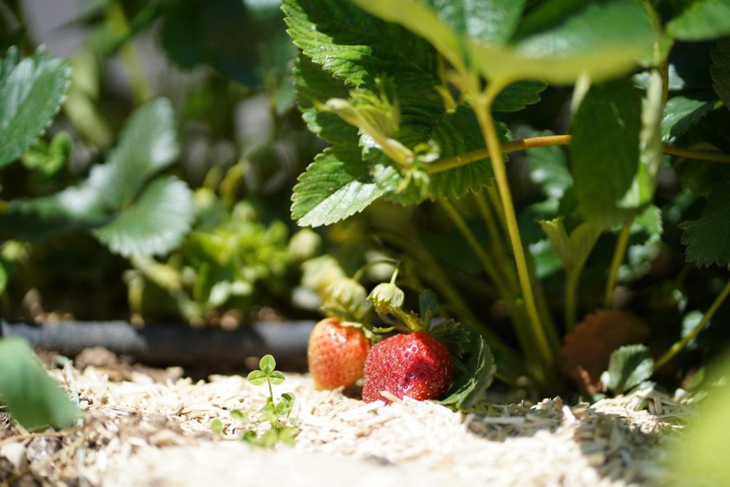 Des fraisiers remontants pour échelonner ses récoltes au potager