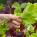 échelonner les récoltes de salades