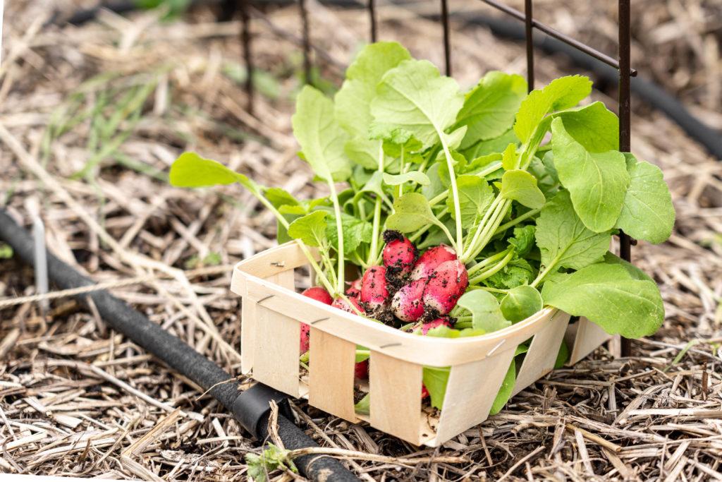 Echelonner sa production de radis au potager pour en avoir toute l'année