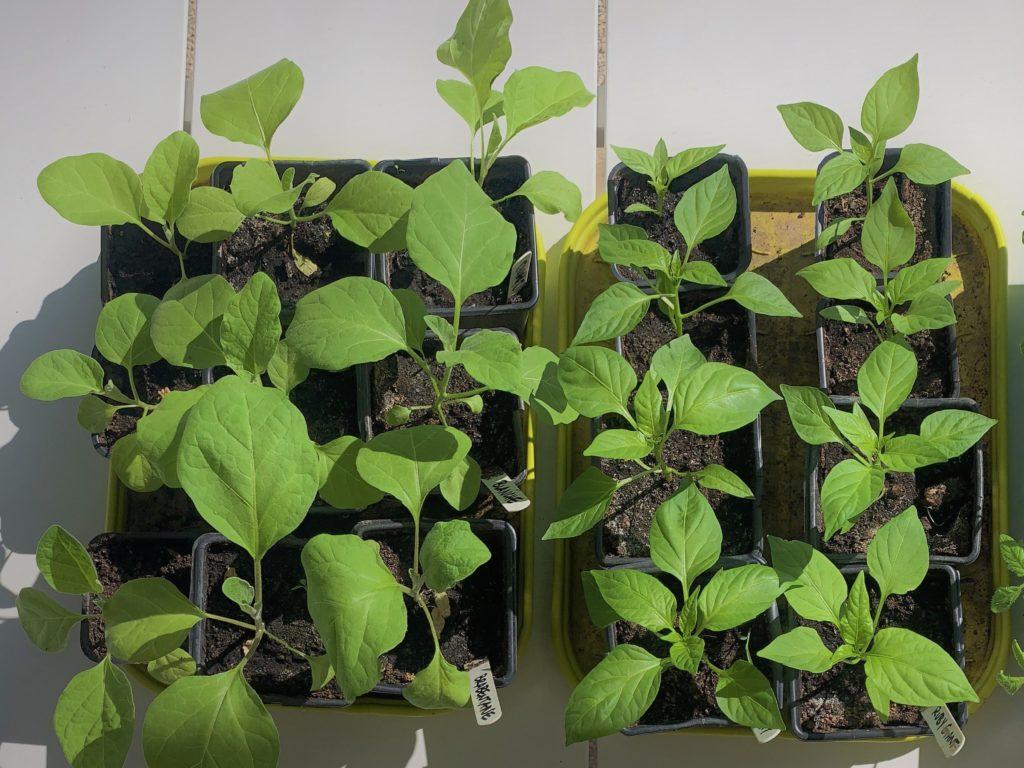 Semis de début de saison : les aubergines et les poivrons