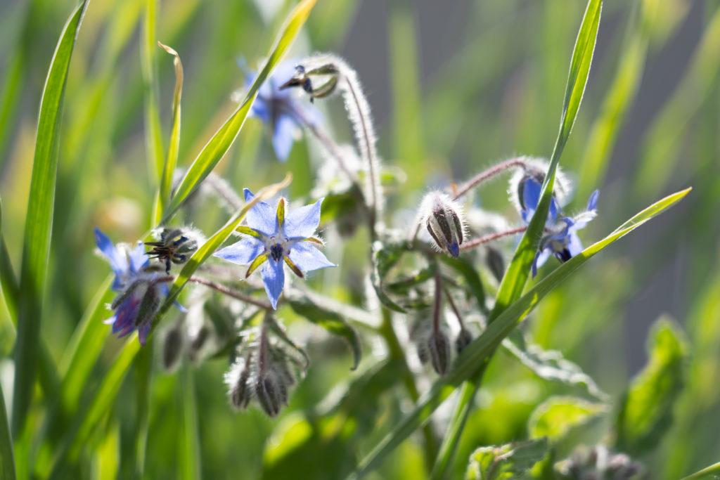 Bourrache a fleurs bleues