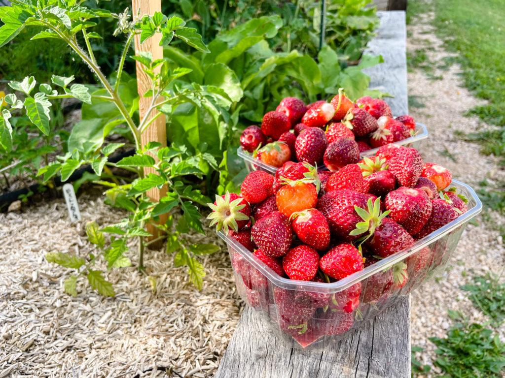 Les fraises au potager en carrés